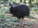 Southern Cassowary - Adult
