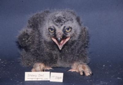 Generic Bird of Prey Protocol - Snowy Owl