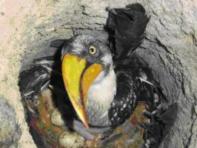 Eastern yellow-billed Hornbill - Adult & chick
