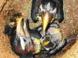 Green Aracari - Nestlings