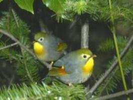 Pekin Robin - Adults