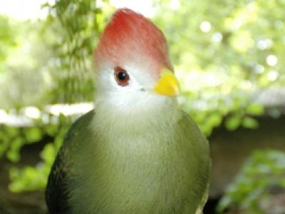 Red-crested Turaco - Adult
