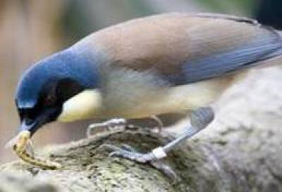 Blue-crowned Laughingthrush - Blue-crowned laughingthrush
